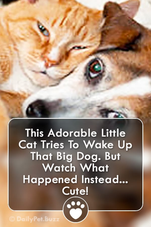 This Adorable Little Cat Tries To Wake Up That Big Dog. But Watch What Happened Instead... Cute!