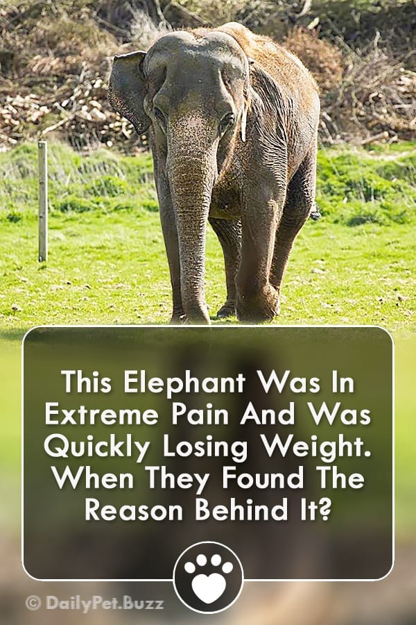This Elephant Was In Extreme Pain And Was Quickly Losing Weight. When They Found The Reason Behind It?