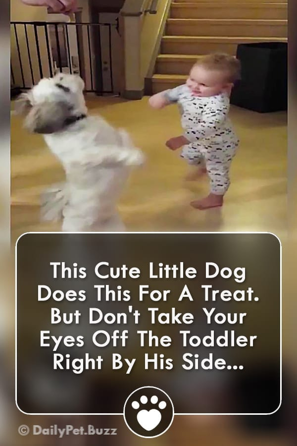 This Cute Little Dog Does This For A Treat. But Don\'t Take Your Eyes Off The Toddler Right By His Side...