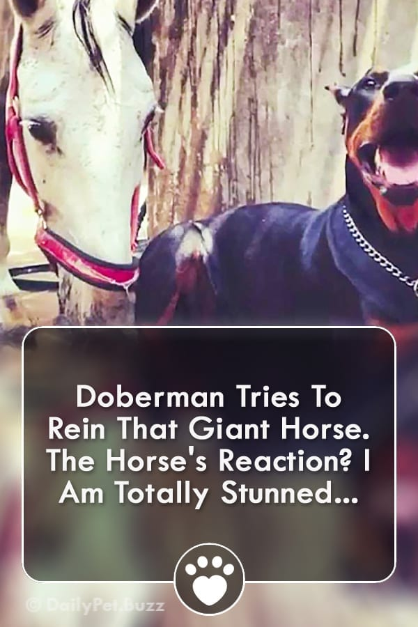 Doberman Tries To Rein That Giant Horse. The Horse\'s Reaction? I Am Totally Stunned...