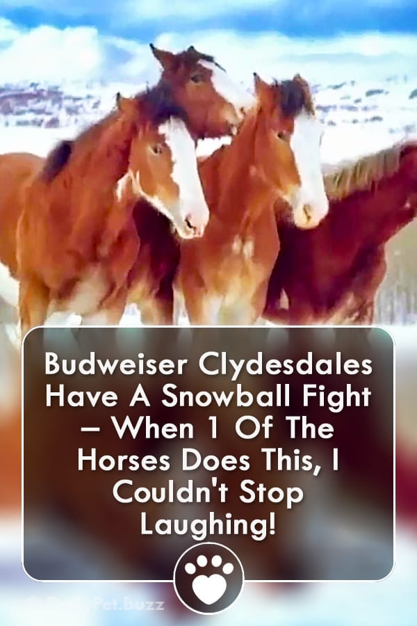 Budweiser Clydesdales Have A Snowball Fight – When 1 Of The Horses Does This, I Couldn\'t Stop Laughing!