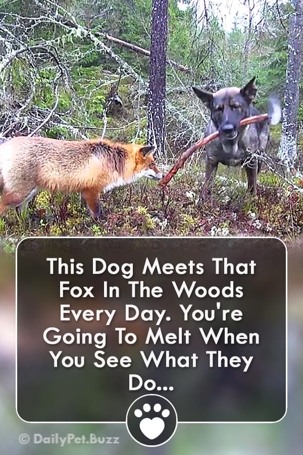 This Dog Meets That Fox In The Woods Every Day. You\'re Going To Melt When You See What They Do...
