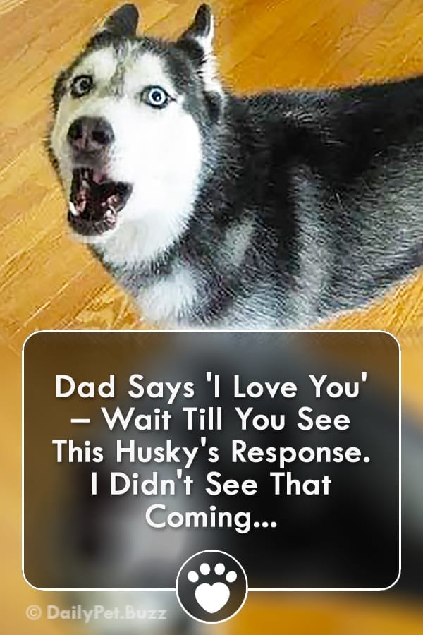 Dad Says \'I Love You\' – Wait Till You See This Husky\'s Response. I Didn\'t See That Coming...