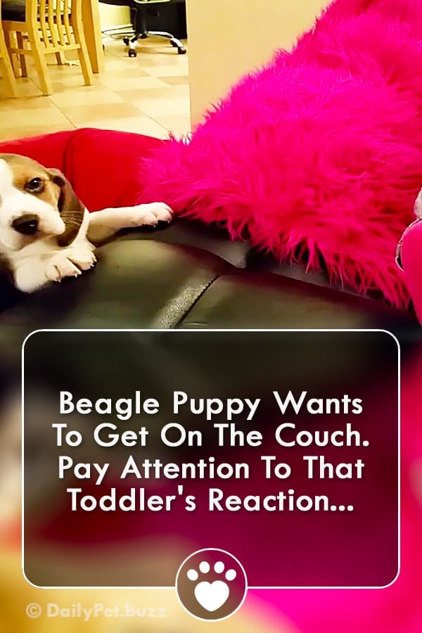 Beagle Puppy Wants To Get On The Couch. Pay Attention To That Toddler\'s Reaction...