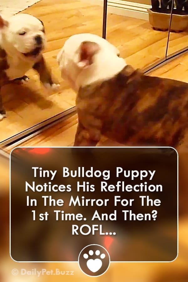 Tiny Bulldog Puppy Notices His Reflection In The Mirror For The 1st Time. And Then? ROFL...