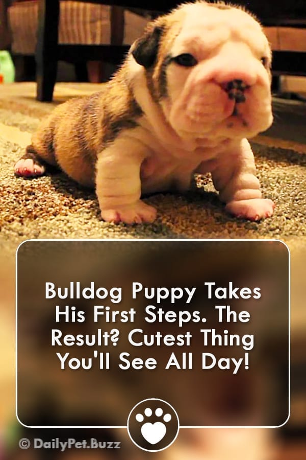 Bulldog Puppy Takes His First Steps. The Result? Cutest Thing You\'ll See All Day!