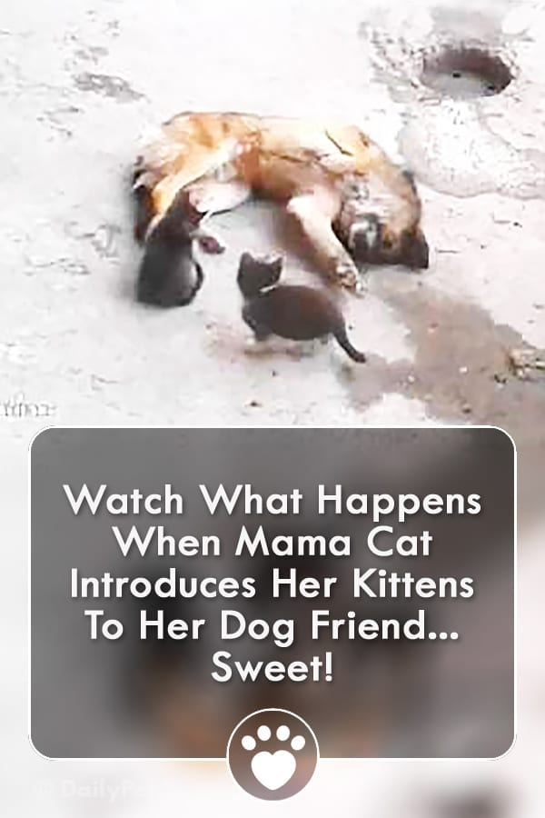 Watch What Happens When Mama Cat Introduces Her Kittens To Her Dog Friend... Sweet!
