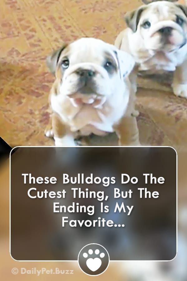 These Bulldogs Do The Cutest Thing, But The Ending Is My Favorite...
