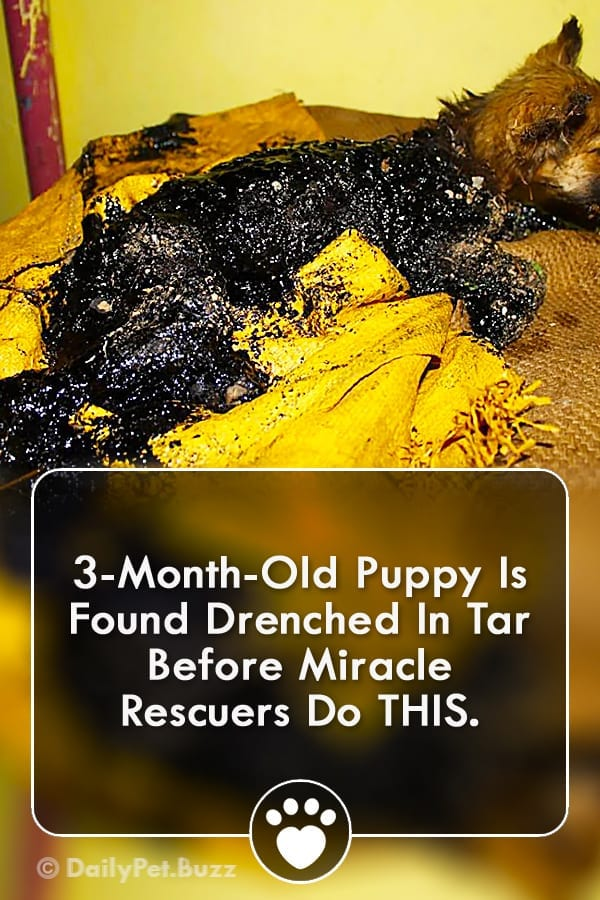 3-Month-Old Puppy Is Found Drenched In Tar Before Miracle Rescuers Do THIS.