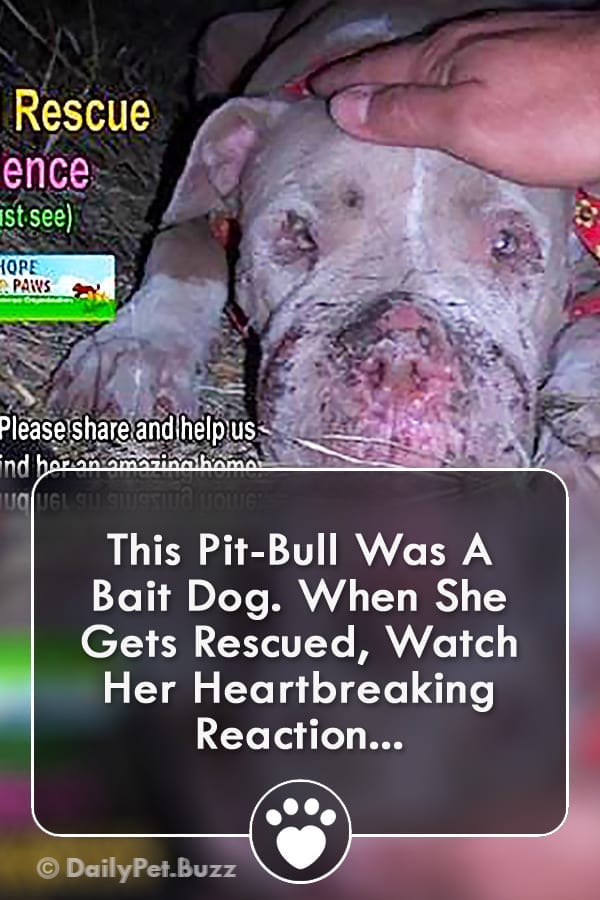 This Pit-Bull Was A Bait Dog. When She Gets Rescued, Watch Her Heartbreaking Reaction...