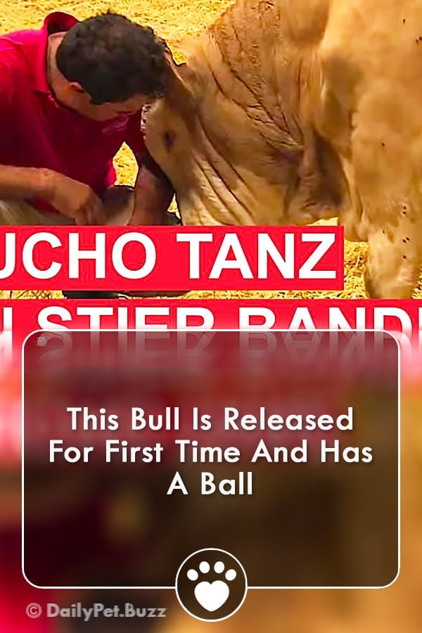 This Bull Is Released For First Time And Has A Ball
