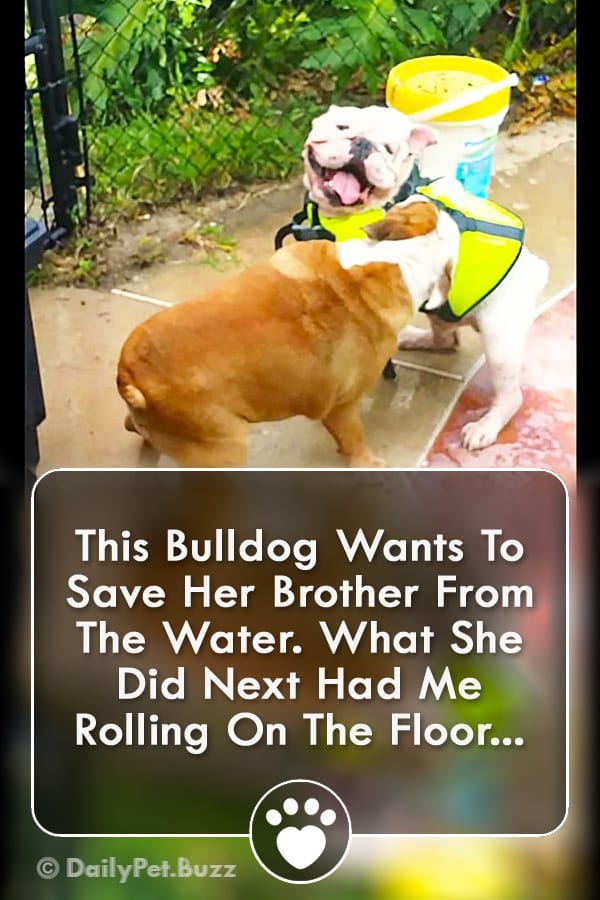 This Bulldog Wants To Save Her Brother From The Water. What She Did Next Had Me Rolling On The Floor...