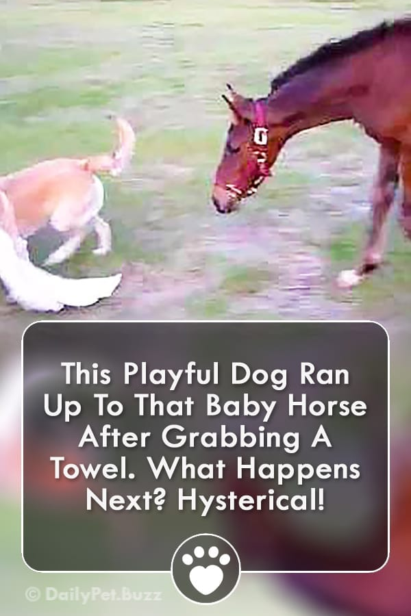This Playful Dog Ran Up To That Baby Horse After Grabbing A Towel. What Happens Next? Hysterical!