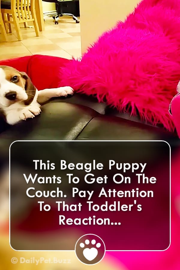 This Beagle Puppy Wants To Get On The Couch. Pay Attention To That Toddler\'s Reaction...