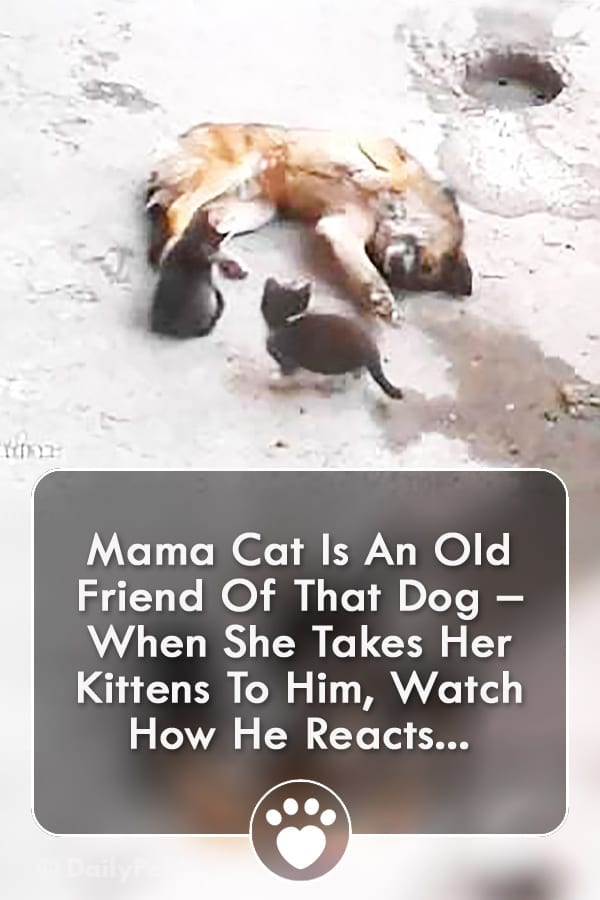 Mama Cat Is An Old Friend Of That Dog – When She Takes Her Kittens To Him, Watch How He Reacts...