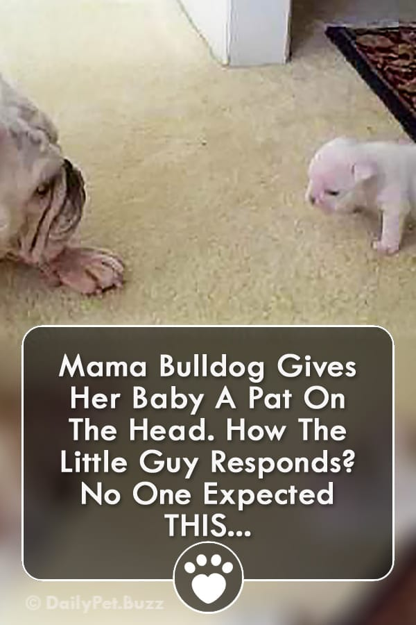 Mama Bulldog Gives Her Baby A Pat On The Head. How The Little Guy Responds? No One Expected THIS...