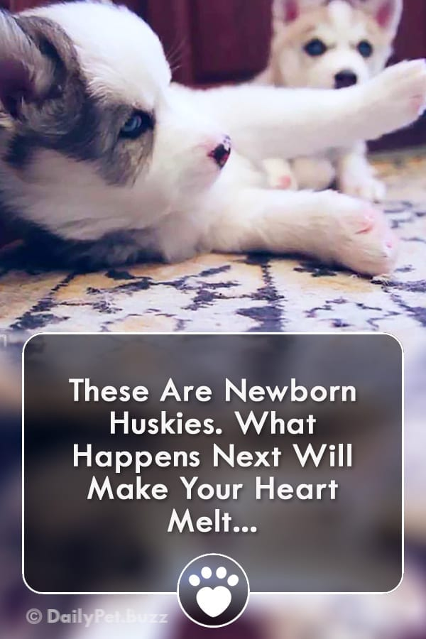 These Are Newborn Huskies. What Happens Next Will Make Your Heart Melt...