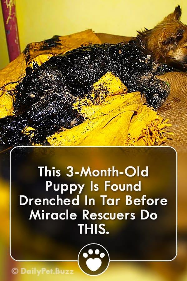 This 3-Month-Old Puppy Is Found Drenched In Tar Before Miracle Rescuers Do THIS.