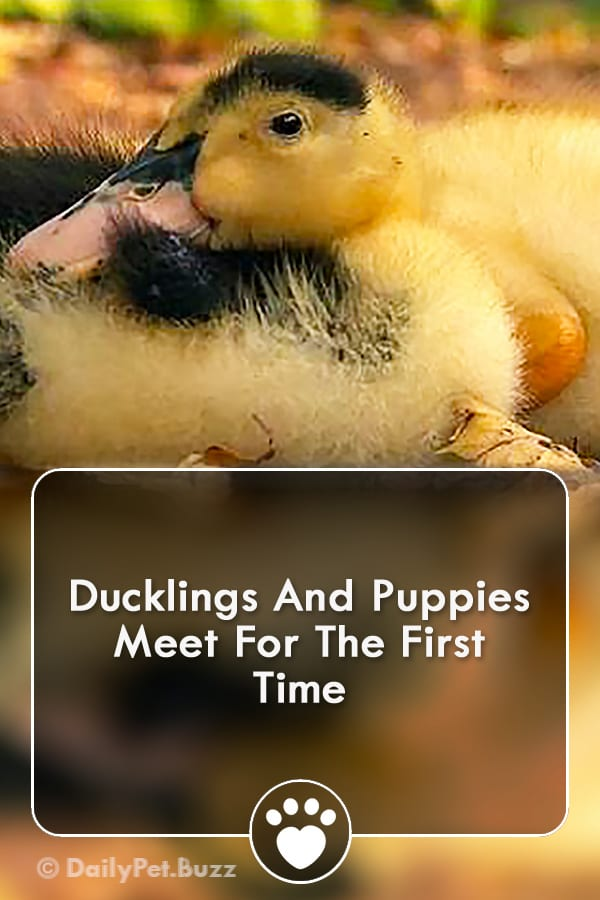 Ducklings And Puppies Meet For The First Time