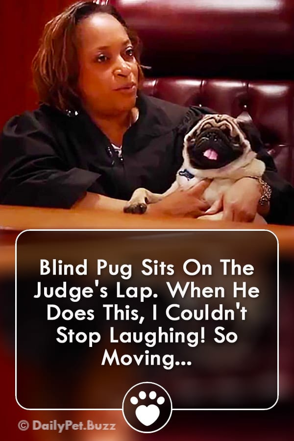 Blind Pug Sits On The Judge\'s Lap. When He Does This, I Couldn\'t Stop Laughing! So Moving...