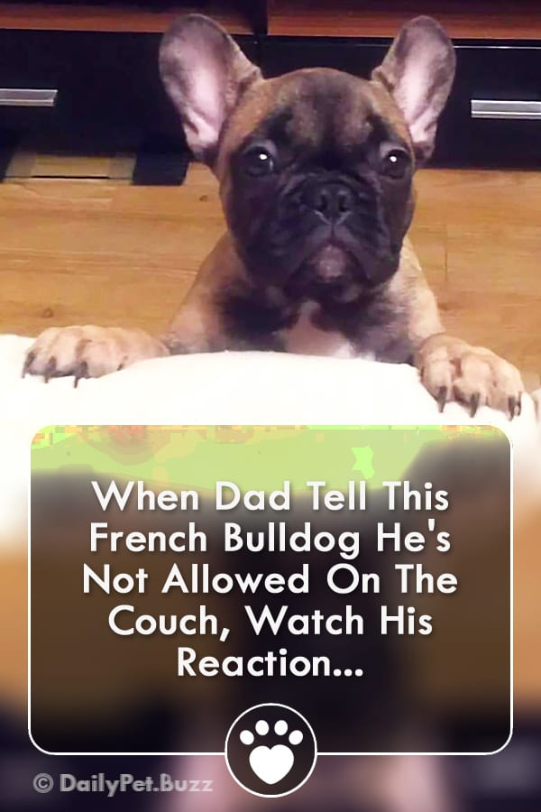 When Dad Tell This French Bulldog He\'s Not Allowed On The Couch, Watch His Reaction...