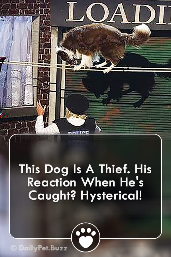 This Dog Is A Thief. His Reaction When He\'s Caught? Hysterical!