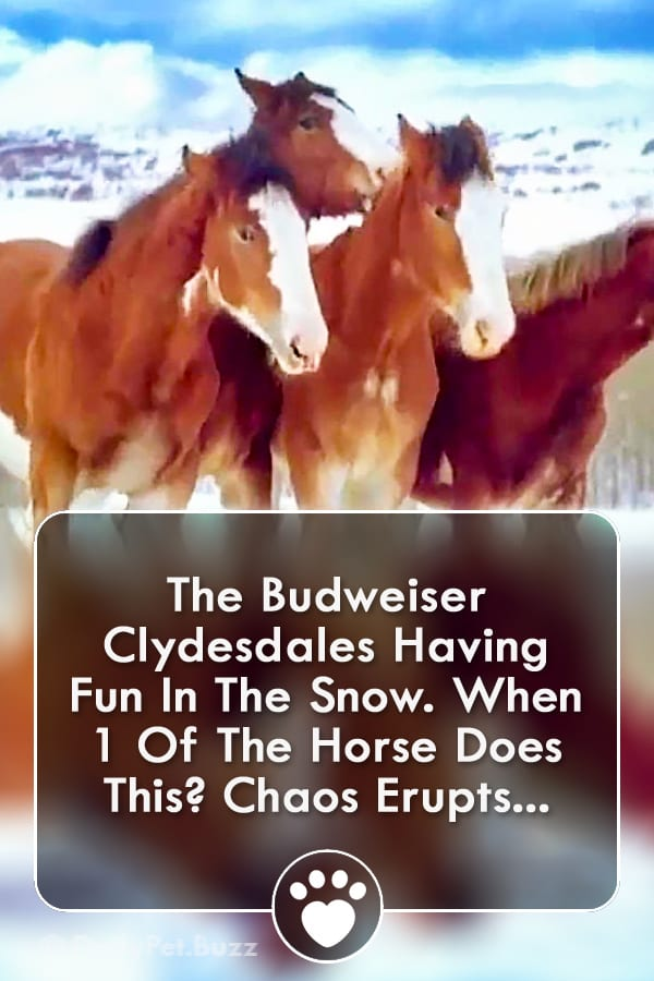 The Budweiser Clydesdales Having Fun In The Snow. When 1 Of The Horse Does This? Chaos Erupts...