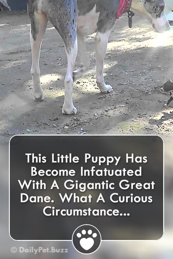 This Little Puppy Has Become Infatuated With A Gigantic Great Dane. What A Curious Circumstance...
