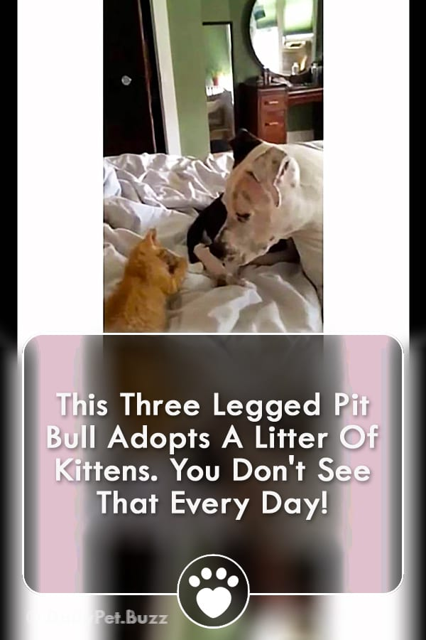 This Three Legged Pit Bull Adopts A Litter Of Kittens. You Don\'t See That Every Day!