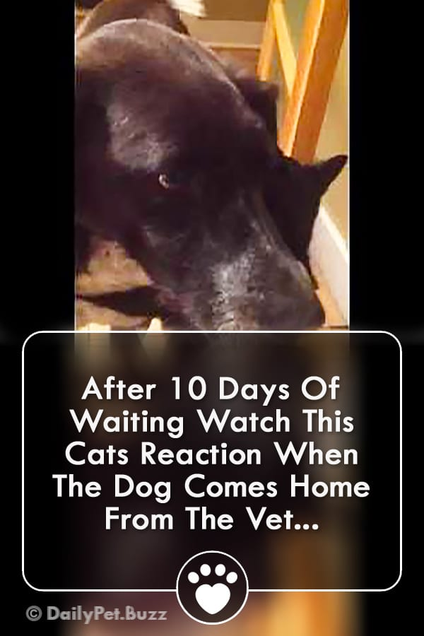 After 10 Days Of Waiting Watch This Cats Reaction When The Dog Comes Home From The Vet...