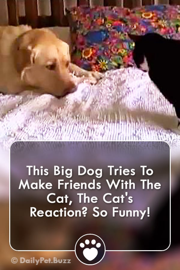 This Big Dog Tries To Make Friends With The Cat, The Cat\'s Reaction? So Funny!