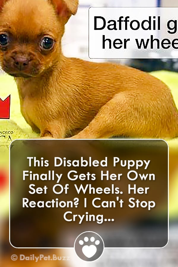 This Disabled Puppy Finally Gets Her Own Set Of Wheels. Her Reaction? I Can\'t Stop Crying...