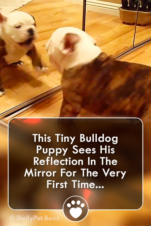 This Tiny Bulldog Puppy Sees His Reflection In The Mirror For The Very First Time...
