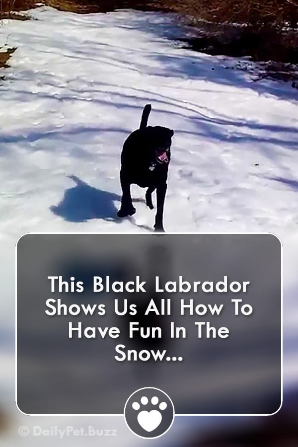 This Black Labrador Shows Us All How To Have Fun In The Snow...