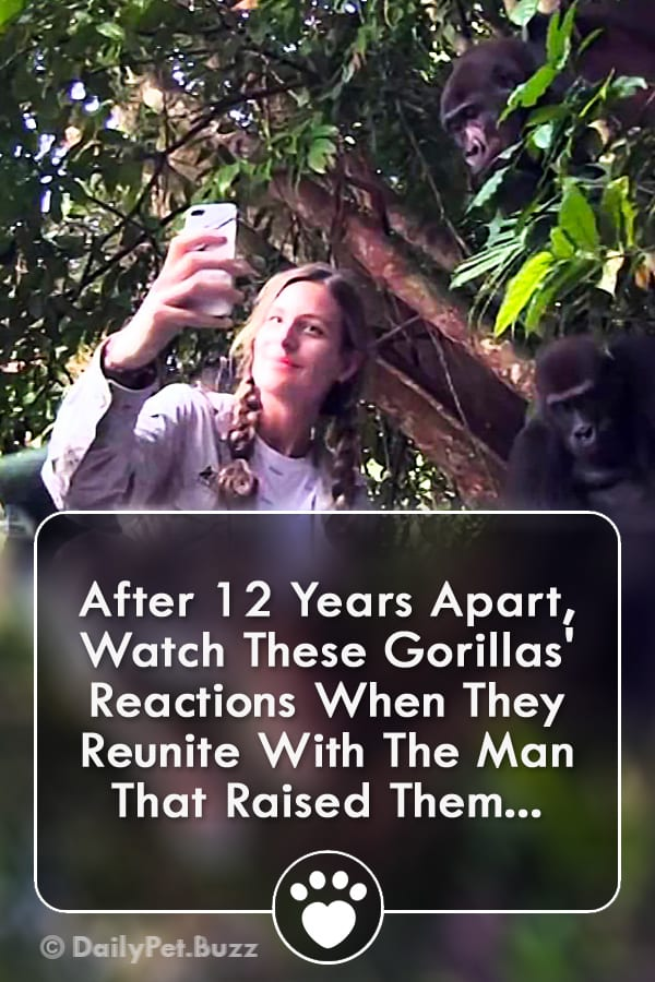 After 12 Years Apart, Watch These Gorillas\' Reactions When They Reunite With The Man That Raised Them...