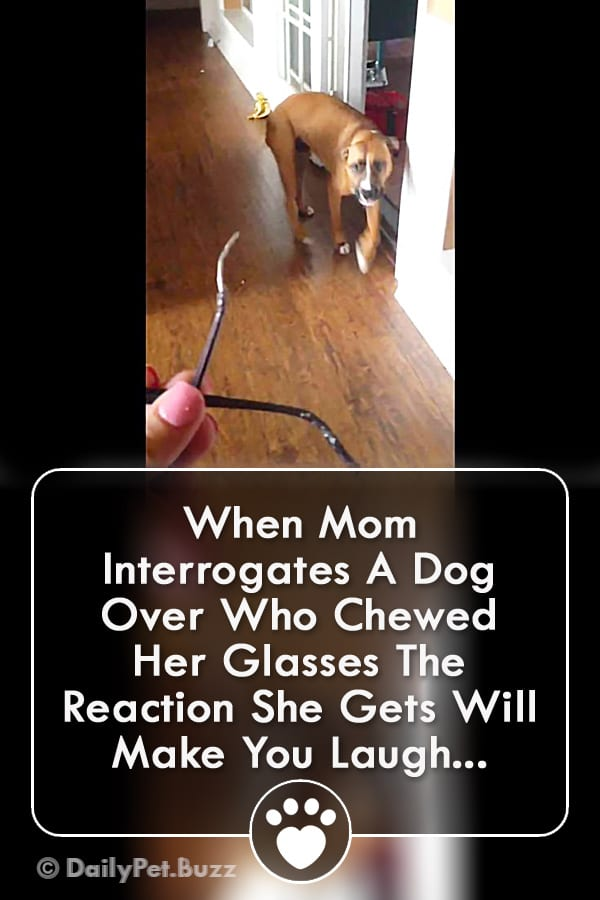 When Mom Interrogates A Dog Over Who Chewed Her Glasses The Reaction She Gets Will Make You Laugh!