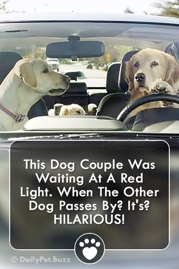 This Dog Couple Was Waiting At A Red Light. When The Other Dog Passes By? It\'s? HILARIOUS!