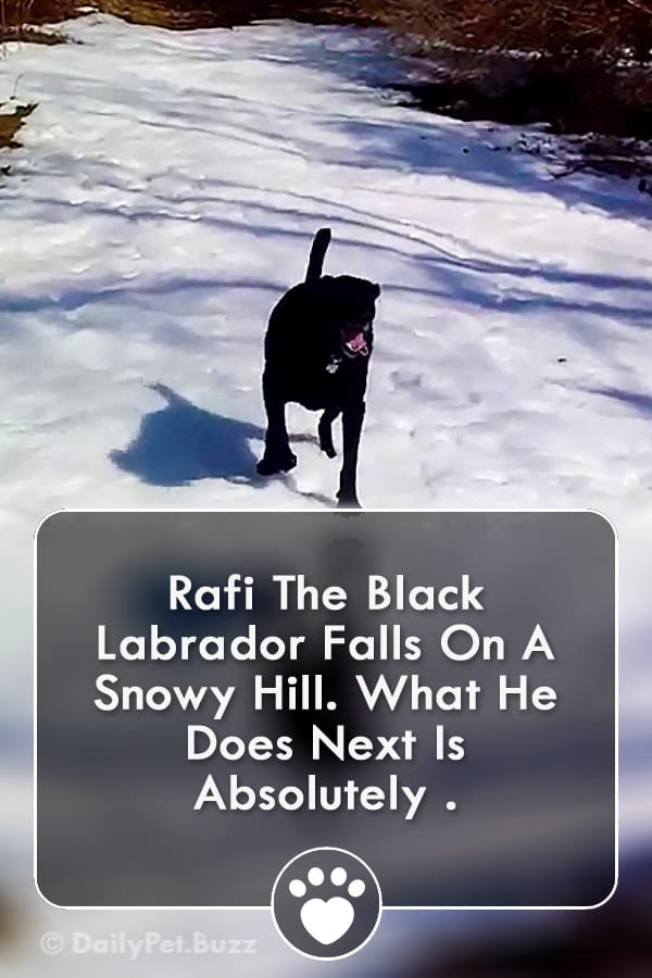 Rafi The Black Labrador Falls On A Snowy Hill. What He Does Next Is Absolutely .