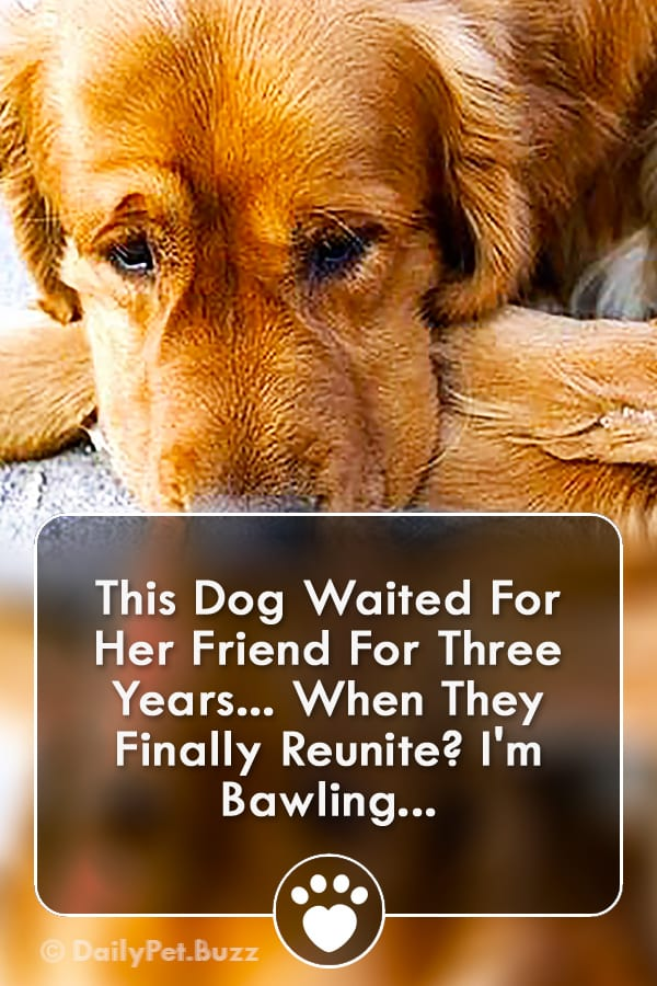 This Dog Waited For Her Friend For Three Years... When They Finally Reunite? I\'m Bawling...