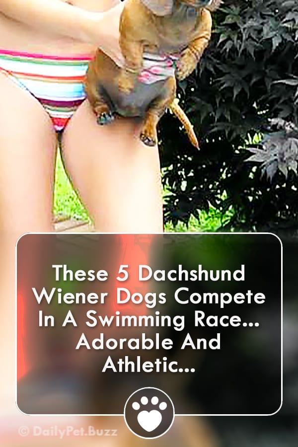 These 5 Dachshund Wiener Dogs Compete In A Swimming Race... Adorable And Athletic...