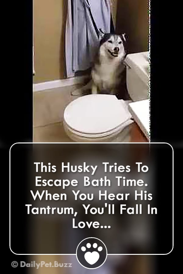 This Husky Tries To Escape Bath Time. When You Hear His Tantrum, You\'ll Fall In Love...