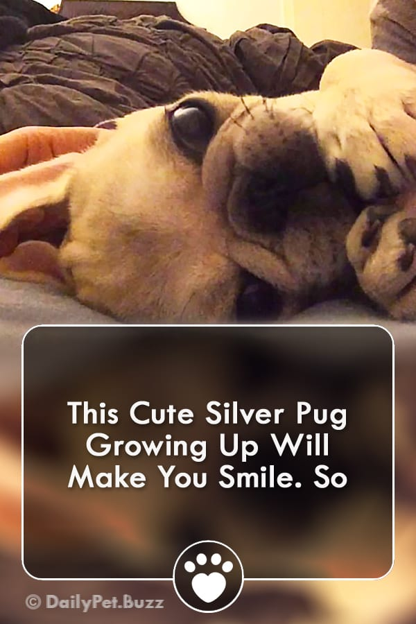 This Cute Silver Pug Growing Up Will Make You Smile. So