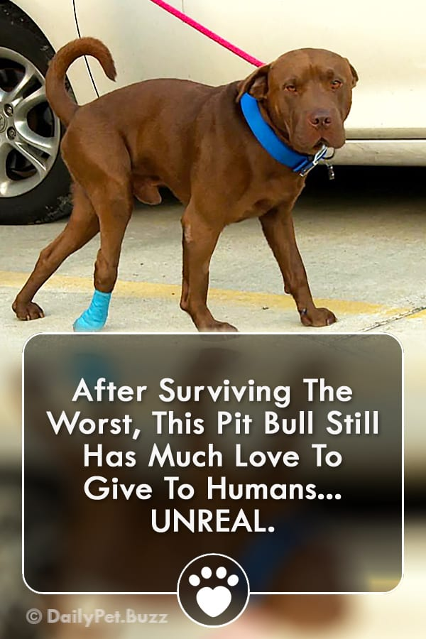 After Surviving The Worst, This Pit Bull Still Has Much Love To Give To Humans... UNREAL.