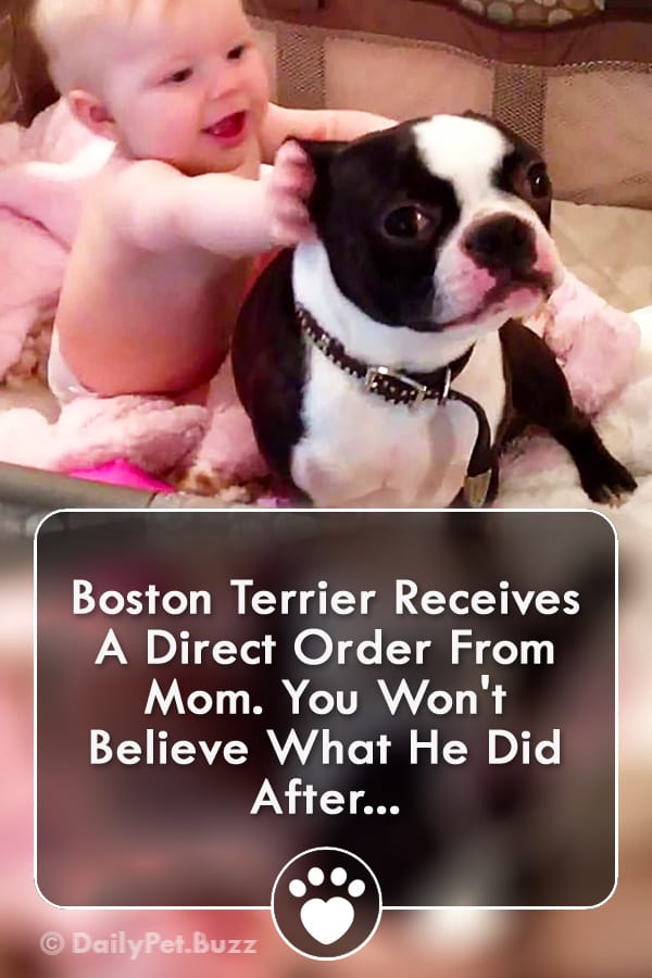 Boston Terrier Receives A Direct Order From Mom. You Won\'t Believe What He Did After...