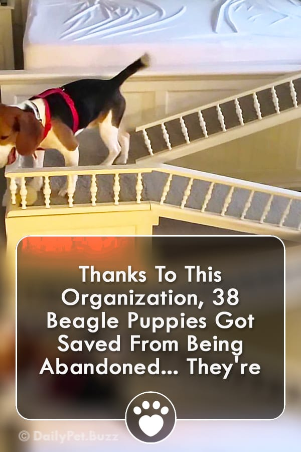Thanks To This Organization, 38 Beagle Puppies Got Saved From Being Abandoned... They\'re