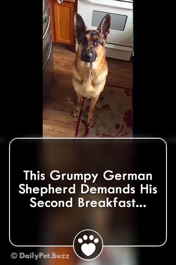 This Grumpy German Shepherd Demands His Second Breakfast...