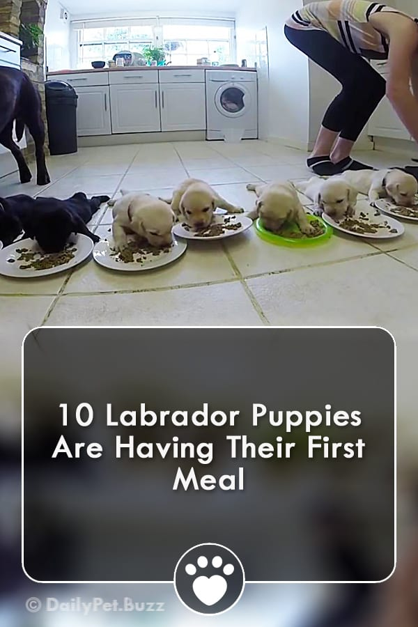 10 Labrador Puppies Are Having Their First Meal