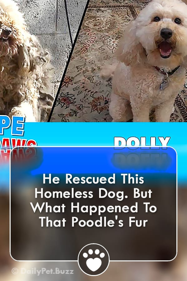 He Rescued This Homeless Dog. But What Happened To That Poodle\'s Fur