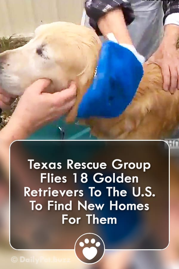 Texas Rescue Group Flies 18 Golden Retrievers To The U.S. To Find New Homes For Them