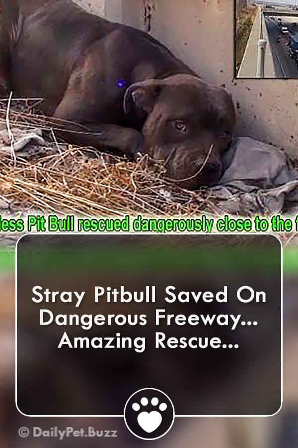 Stray Pitbull Saved On Dangerous Freeway... Amazing Rescue...
